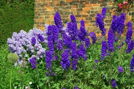 Blue delphinium and campanula flowers in a garden
