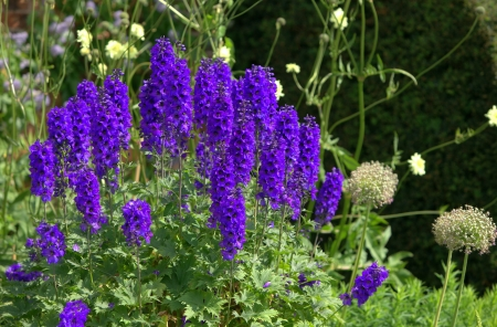 Blue delphinium flowers in a summer garden  Stock Photo