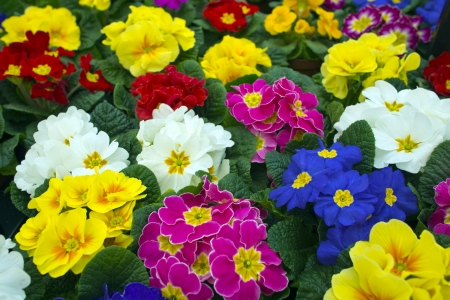 Polyanthus flowers (primula garden hybrids). Stock Photo