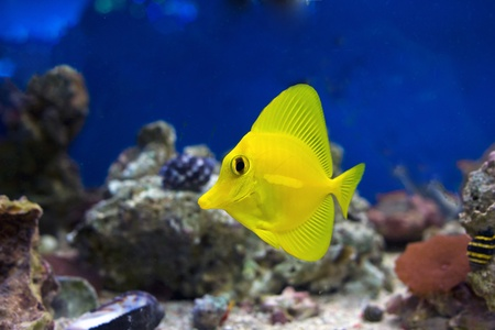 flavescens: Curious Zebrasoma Flavescens yellow tang fish. Stock Photo