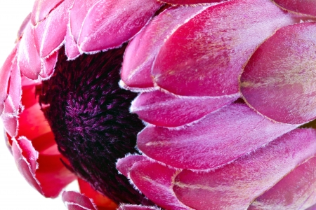 Pink protea flower close-up