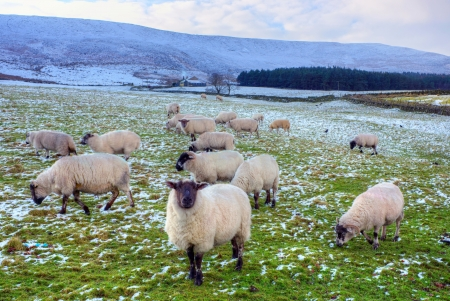 Winter pasture with black face sheep in Peak District