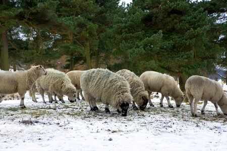 Winter pasture with black face sheep in Peak District. photo