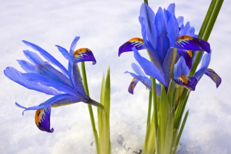 Blue winter flowers Iris Reticulata Gordon in snowy garden. Stock Photo