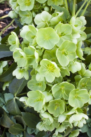 Christmas Rose plant (Helleborus Argutifolius) in early spring garden.