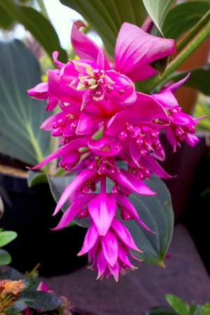 Exotic pink flower rose grape, Medinilla Magnifica Melastomataceae  Stock Photo