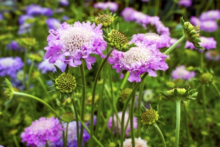 Scabious plant Scabiosa columbaria  Pink Mist  in a garden  Stock Photo