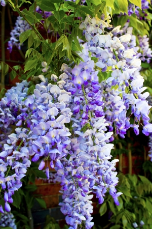 Closeup of cascading lilac wisteria sinensis  glycine   Stock Photo