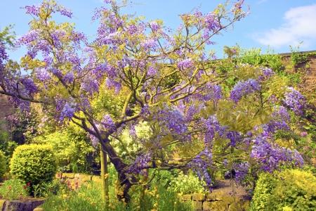 glycine:  Cascading lilac wisteria sinensis  glycine  in a summer garden