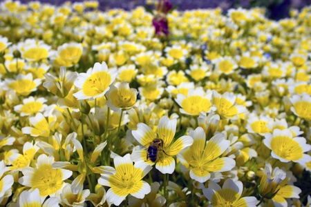 Yellow and white flowers Limnanthes Douglasii is commonly known as fried egg plant Stock Photo - 20441281