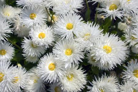 shasta daisy: Shasta daisy flowers Leucanthemum superbum