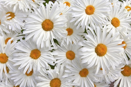 Close-up of white and yellow daisies as a background  photo