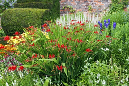 Red crocosmia plant in a herbaceous border