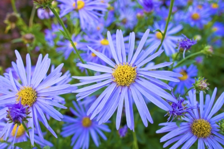 Blue daisy Felicia Amelloides  blue marguerite  is a species of flowering plant