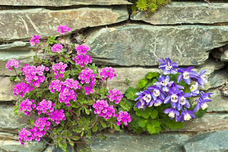 Pink Androsace Primrose Mariae and blue Pleone Orchid rockery flowers  photo