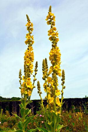 Verbascum mullein also a velvet plant  photo