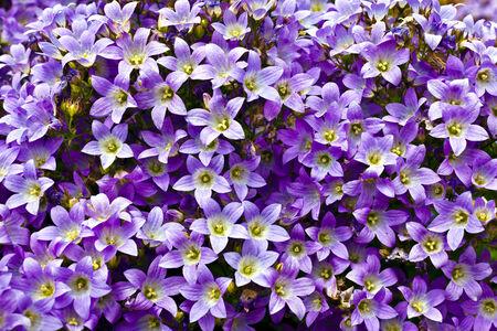 Blue campanula flower as a background  photo