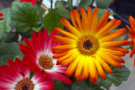 Brightly coloured gerbera daisies.