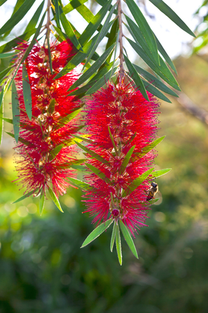 callistemon: Callistemon red bottle brush flowering shrub.