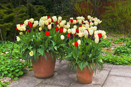 Red, blue and white tulips in large terracotta planters on a flagged patio. Stock Photo