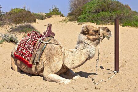 saddle camel: Resting dromedary also called the Arabian camel (Camelus dromedarius). Stock Photo