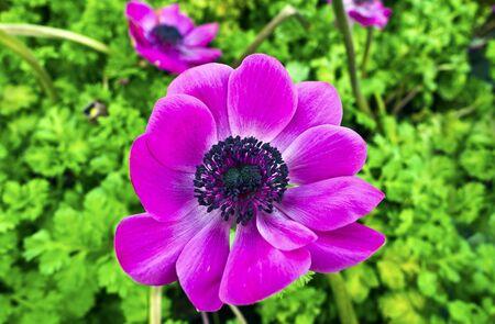 windflower: Closeup of a purple anemone flower in a garden. Stock Photo