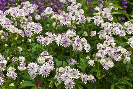 herbaceous border: Astrantia major in a herbaceous border.