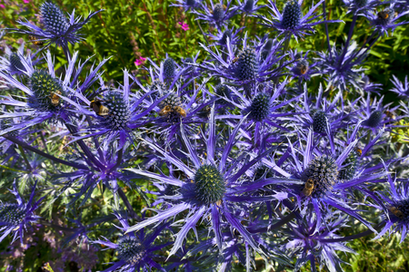 Blue thistle like flower of ERYNGIUM ALPINUM BLUE STAR in a herbaceous border.