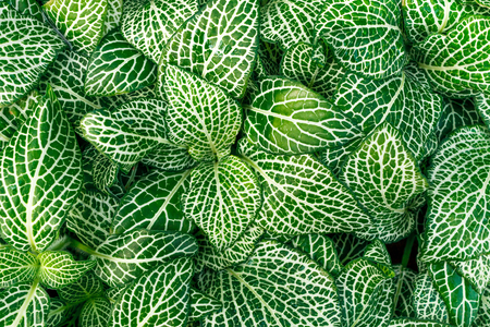acanthaceae: Closeup of green and white fittonia nerve plant or mosaic plant plants.