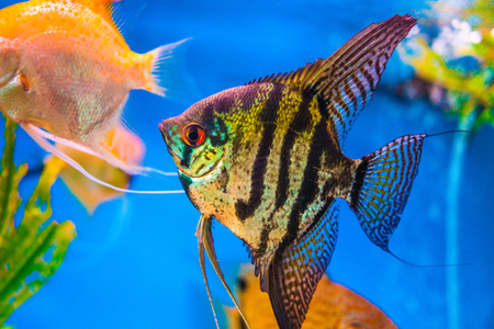 aquarium hobby: Marbled black and yellow long finned angel fish.