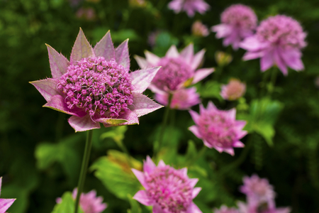 herbaceous: Pink Astrantia flowers in a herbaceous border.