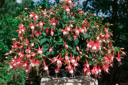 trailing: Pink and white Trailing Fuchsia plant in a basket. Stock Photo