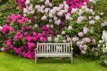 seats: Rhododendron garden with wooden bench. Stock Photo