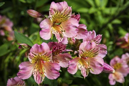 Pink Alstromeria flowers in a garden. Stock Photo