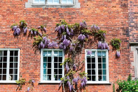 house trained: Brick wall of an old house with climbing wisteria.