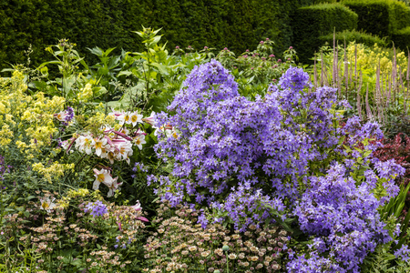 herbaceous: Summer flowers lilies, campanula and astrantia in a well stocked herbaceous border. Stock Photo