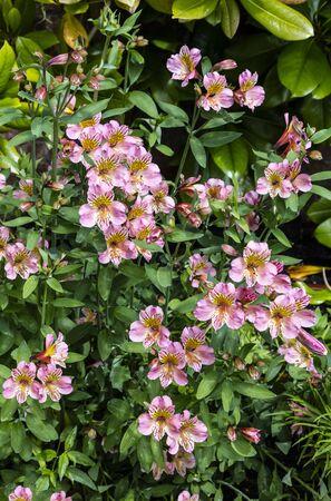 alstromeria: Pink Alstromeria flowering plants in a garden.