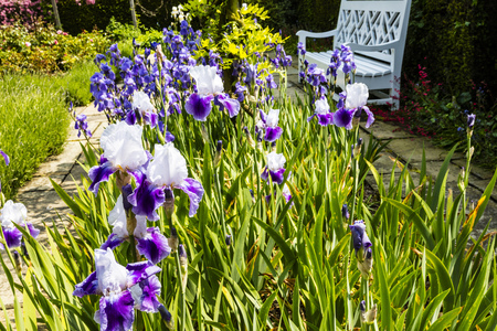 Garden scene with tall bearded irises (Iris germanica).