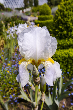White Bearded Iris (Iris Germanica) in full bloom in a herbaceous border close-up.