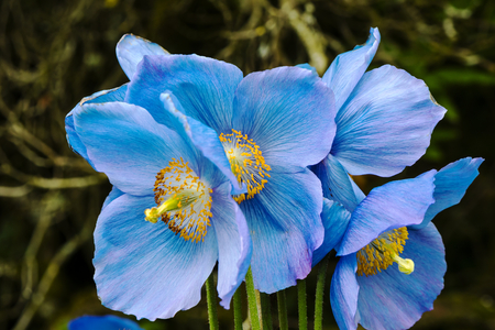 Large flowers of meconopsis himalayan blue poppy close up stock large flowers of meconopsis himalayan blue poppy close up stock photo picture and royalty free image image 79300029 mightylinksfo