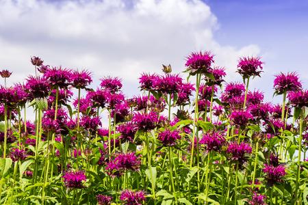 Pink Monarda flowers common names Bee Balm and Bergamot