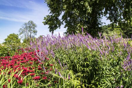 Tall Blue Veronica and Deep Pink Monarda flowering plants in a herbaceous border.