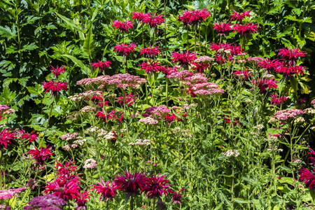 Dark Pink Monarda and Achillea flowers in a herbaceous border.