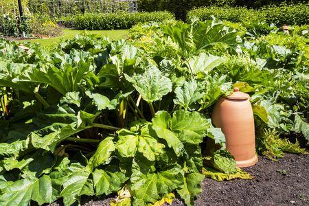 rheum: Rhubarb (Rheum rhabarbarum) herbaceous perennial plant in a vegetable garden with terracotta closhes.