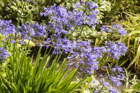 Blaue Agapanthus (afrikanische Lilie) Pflanzen in einer krautigen Grenze in einem Garten.