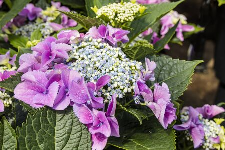 Close up of lase-cap Macrophylla Hydrangea Teller Blue flowers. Stock Photo