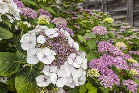Macrophylla Hydrangea lace cap violet flowers close-up.