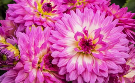 Bright pink dahlias with white accent in the centre.