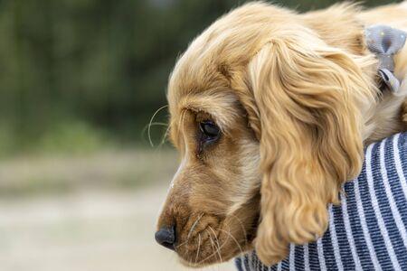 Portrait of red Cocker Spaniel puppy.