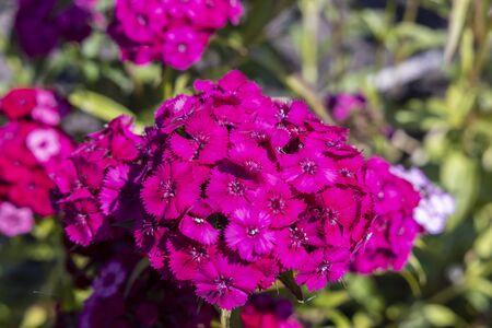 Close up of deep pink head of Sweet William or Dianthus barbatus.